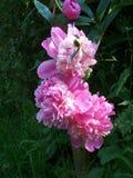 Розовые цветки пиона и темные ые-зелен листья стоковое фото rf