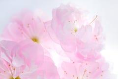 Розовые цветки предпосылки Сакуры Стоковое Изображение RF