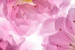 Розовые цветки предпосылки Сакуры Стоковое Фото