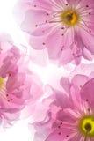 Розовые цветки предпосылки Сакуры Стоковые Фотографии RF