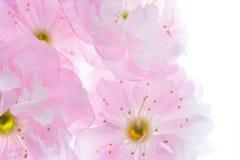 Розовые цветки предпосылки Сакуры Стоковые Изображения RF