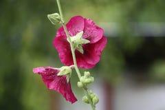 Розовые цветки просвирника Стоковые Фото