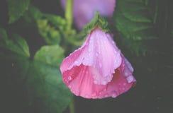 Розовые цветки просвирника Стоковое фото RF