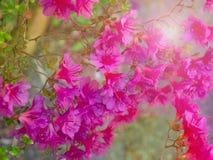 Розовые цветки рододендрона на кусте в лучах солнца стоковое фото