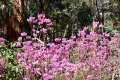Розовые цветки - рододендрон стоковая фотография rf