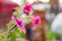 Розовые цветки Розовый цветок растет в баке лето сада цветков цветения Стоковая Фотография