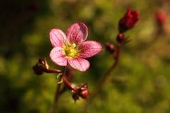 Розовые цветки сада Стоковое Изображение