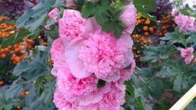 Розовые цветки с зелеными листьями/заводами в саде/ Стоковые Изображения