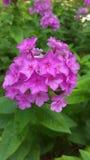 Розовые цветки флокса на зеленых листьях предпосылки Стоковое Фото
