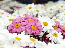 Розовые цветки хризантемы среди белых цветков хризантемы Стоковые Фото