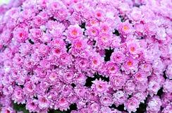 Розовые цветки хризантем Стоковые Фото