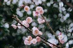 Розовые цветки цветения сливы весной стоковое фото rf