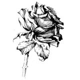 Розовые цветки чертежа чернил Стоковые Фотографии RF