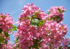 Розовые цветки яблони стоковая фотография rf