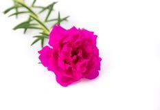 Розовые цветки Стоковые Изображения