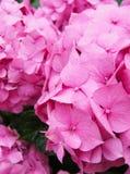 Розовые цветки Стоковое Изображение