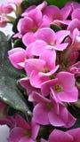 Розовые цветки Стоковые Фотографии RF
