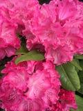 Розовые цветки Стоковые Изображения RF