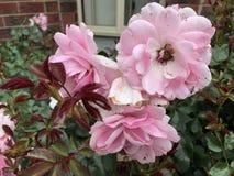 Розовые цветки Стоковая Фотография RF