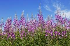 Розовые цветки fireweed на предпосылке голубого неба стоковое фото rf