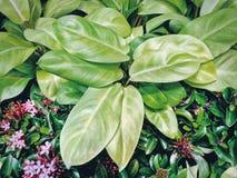 Розовые цветки Ixora и свежая зеленая предпосылка листьев Стоковые Изображения RF