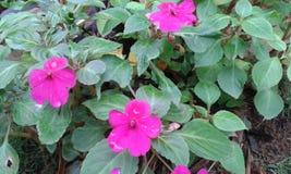 Розовые цветки kudalu Стоковое Изображение RF