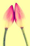 Розовые цветки nucifera Nelumbo, конец вверх, винтажный стиль Стоковые Изображения RF