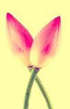 Розовые цветки nucifera Nelumbo, конец вверх, винтажный стиль Стоковые Фото