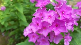 Розовые цветки Paniculata флокса на зеленых листьях предпосылки Стоковые Изображения