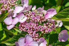 Розовые цветки Spirea бенгальского огня более малый кустарник с кругом стоковое фото rf