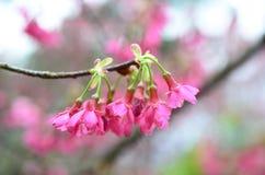 Розовые цветки sukura цветения Стоковая Фотография