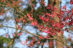 Розовые цветки sukura цветения Стоковые Изображения