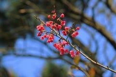 Розовые цветки sukura цветения Стоковое фото RF