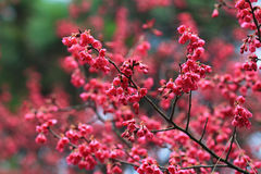 Розовые цветки sukura цветения Стоковые Фотографии RF