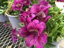 Розовые цветки tamara стоковое изображение rf