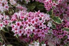 Розовые цветки Weigela Флориды куста стоковое фото
