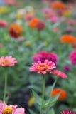 Розовые цветки zinnia Стоковые Изображения RF