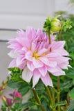 Розовые цветок и бутон георгина Стоковые Изображения RF