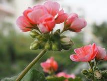 Розовые цветок и buds_close-up гвоздики Стоковые Фото