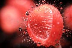 Розовые чашка ожога или гриб чашки грибков Стоковое Изображение