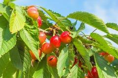 Розовые ягоды сладостной вишни на ветви Стоковое Фото