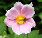 Розовые японские ветреница и пчела Стоковые Изображения RF