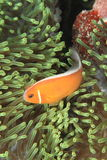 Розовые anemonfish стоковые изображения rf