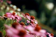 Розовые camomiles Стоковое Фото