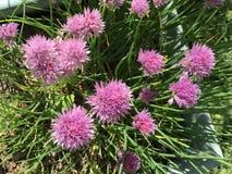 Розовые chives сада Стоковые Фото