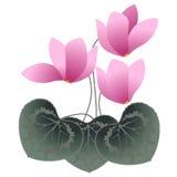 Розовые cyclamens Стоковые Изображения