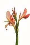 Розовые flowes canna стоковое изображение