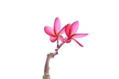 Розовые frangipanies Стоковое Фото
