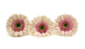 Розовые Gerberas. Стоковые Изображения
