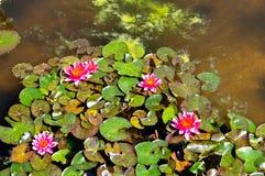 Розовые lillies ботанический сад воды, Падуя, Италия Стоковые Изображения RF